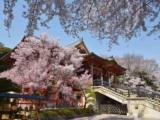 """L'""""Hanami"""" al tempo del Coronavirus: viaggio virtuale a Tokyo tra i ciliegi in fiore"""